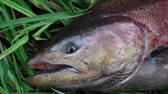 wild chinook salmon spawning